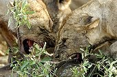 Lionnesses fighting for a dead Cape buffalo Ruaha Tanzania ; Intimidation between lioness to appropriate the better part of this young buffalo.