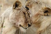 Tenderness between a Lion and a Lioness Ruaha Tanzania ; The lion and the lioness come from the same litter.