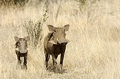 Phacochère marchant avec son petit Ruaha Tanzanie