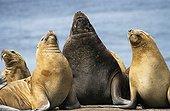 Group of south american sea lion dansing Falklands ; At Cape Bougainville (East Falkland).
