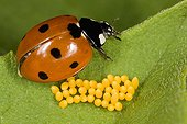 Sevenspotted lady beetle and its eggs on a leaf France