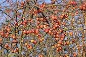 Ornemental Apple tree in fruit in december France