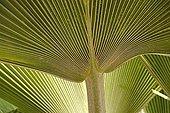 Detail of a leaf of Fiji fan palm Senegal