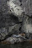 Galapagos fur seal sleeping in a lava cliff Galapagos