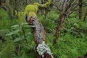 Très vieux Polylepis en forêt primaire d'altitude Equateur ; Laguna del Voladero, à 3800 m d'altitude. Arbres âgés de 500 à 1000 ans.
