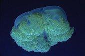 Moon jellyfish Egypt Red Sea