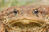 European Toad portrait Bulgaria