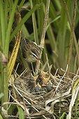 Sedge Warbler feeding her chicks in the nest