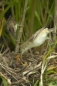 Couple of sedge Warblers feeding her chicks