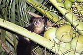 Aye - aye taken in the process of eating fruits Madagascar