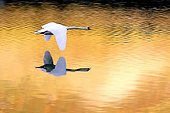 Mute Swan in flight in the light of the autumn France ; Above a pond