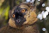 Portrait of a Lémur Collared Madagascar