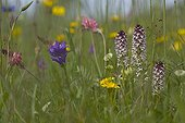 Burnt Orchids in multispecific grassland Germany ; Site : Close to Schwaebische Alb town