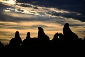 Silhouettes of a colony of sea lions at dusk