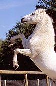 Gray Horse Iberian origin will cabrant France