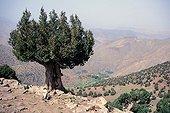 Arganier dans l'Atlas marocain Oukaimeden Maroc ; En arrière plan, on distingue le village de Tacherdit.