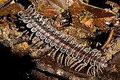 Myriapode walking in undergrowth Borneo