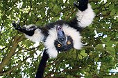 Grimace a young Ruffed lemur playing Madagascar