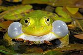 Pool frog singing Bas Rhin France