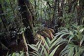 Sous-bois de forêt primaire inondable Tortuguero Costa Rica