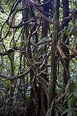 Lianes dans la forêt primaire PN de Tortuguero Costa Rica