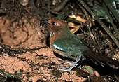 Rufous-headed Ground-roller in front of its nest Madagascar ; This threatened endangered endemic species lives in the altitude tropical forest. This adult, in front of its burrow, has caught a prey to feed its only young.