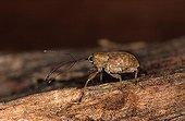 Female Chestnut Weevil on wood France ; Site : Forest of Sillé le Guillaume