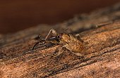 Female Chestnut Weevil cleaning its rostrum France ; Site : Forest of Sillé le Guillaume