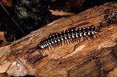 Flat-backed millipede on a trunk Greece ; Site : Island of Lesbos