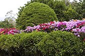 Flowery hedge of Bougainvillea El Valle Panama