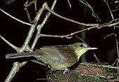 """Male Long-billed Greenbul close to its nest in Madagascar ; Rare endemic species, located in the east of the island. The sexual dimorphism deals with a beak longer in males. The vernacular name of the bird, """"tanala droadroaka"""", come from an onomatopoeia of its song."""