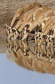 Black-faced Impalas at water point  Etosha Namibie