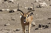 Black-faced Impala male in rut  Etosha Namibie