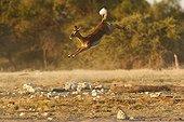 Black-faced Impala jumping  Etosha Namibie