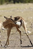 Black faced Impala cleaning is tail Etosha Namibie