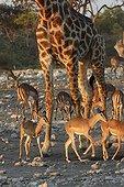 Giraffe and Impalas at watering place Etosha Namibia