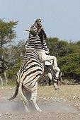 Plain Zèbras male fighting Etosha Namibia