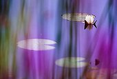 White pond lily seen through purple loosestrife flowers ; In Laconnex Natural Reserve, managed by the association Pro Natura Genève.