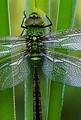 Emperor dragonfly posed on a stem Switzerland ; In Laconnex Natural Reserve, managed by the association Pro Natura Genève. <br>@ Thorax