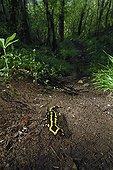 Speckled Salamander in underwood Auvergne France