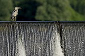 Grey Heron stalk on the Loire Burgundy France