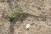 Young Ocellated Lizard Maures Mountain France