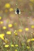 Butterfly-lion Maures Plain France ; Location: Vidauban
