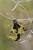 Accouplement d'Ascalaphes ambrés Plaine des Maures France ; Lieu : Vidauban