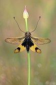 Butterfly-lion Maures Plain France