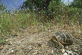 Hermann's Tortoise Maures Plain France ; Location: Vidauban