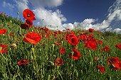 Field of Poppies flower Auvergne France ; Location: Montaigut-le-Blanc
