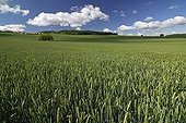 Growing grain Auvergne France ; Location: Pardines