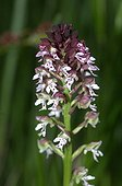 Portrait of a scorched inflorescence Orchid