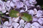 Coupling Bugs green on a purple flower